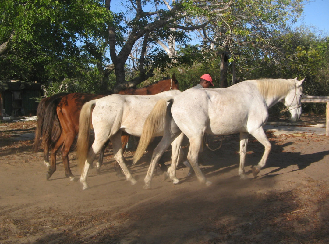 Stables. Horse Volunteer at Mozambique Horse Safari